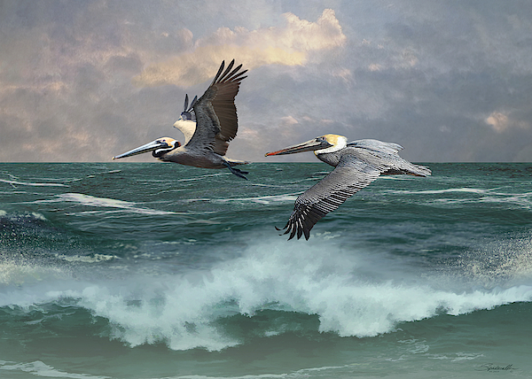 Two Pelicans Aloft by Spadecaller